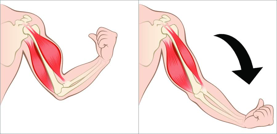 Eccentric action of the biceps muscle during elbow flexion