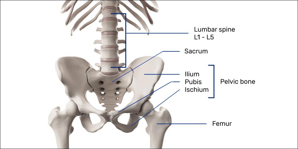 Bony anatomy of the lumbar spine, pelvis, and thighs