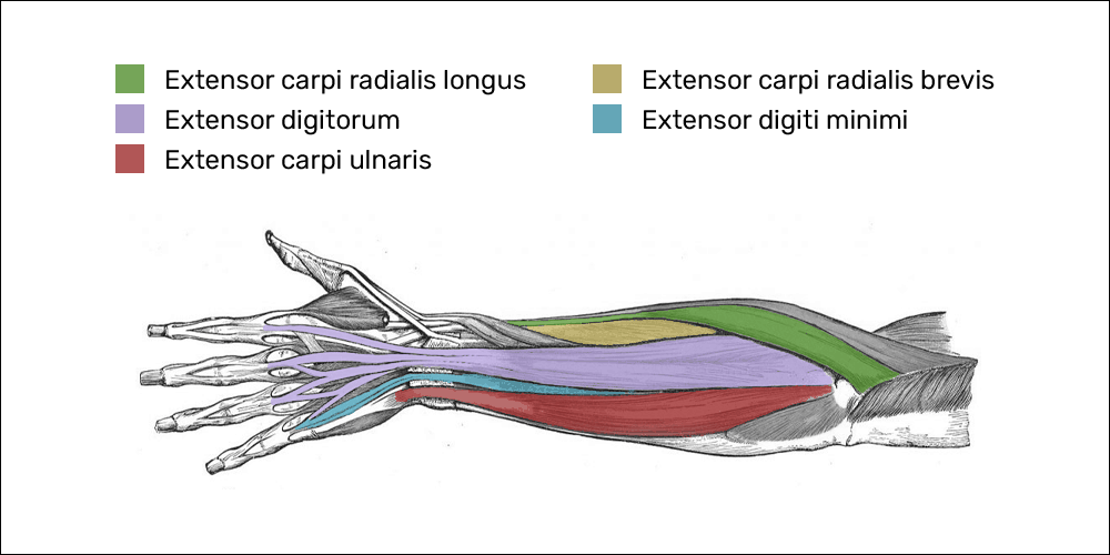 the muscles that make up the common extensor tendon
