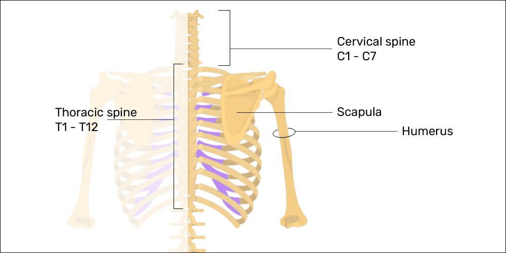 anatomy of the cervical & thoracic spines, scapulae, and arms