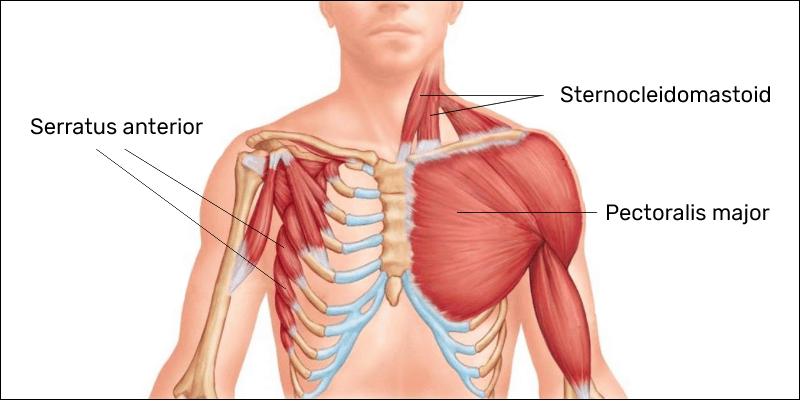 The pectoralis major, sternocleidomastoid, and serratus anterior muscles